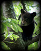 My Bears at SNP : Black Bears at Shenandoah National Park
